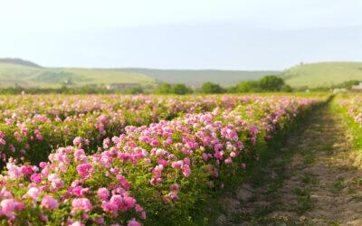 La Vie En Rose: косметика «Крымская роза»